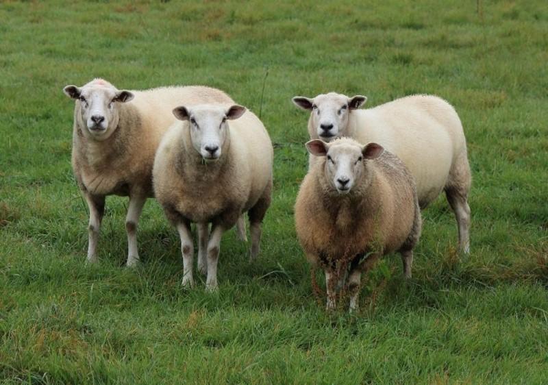 La viande de mouton : ce qu'il faut savoir